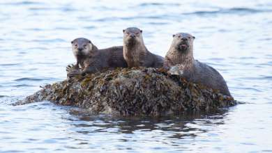 Otter family at meal time. Photo: Arman Werth