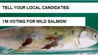 Tell your local candidates: I'm voting for wild salmon!